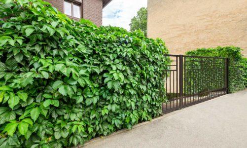 Grasz w zielone? Ogrodzenia oplecione pnączami